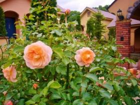 薔薇が見頃です