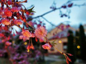 やっと桜が満開に