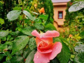 梅雨入りと薔薇の季節