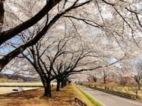 桜の季節と臨時休館のお知らせ